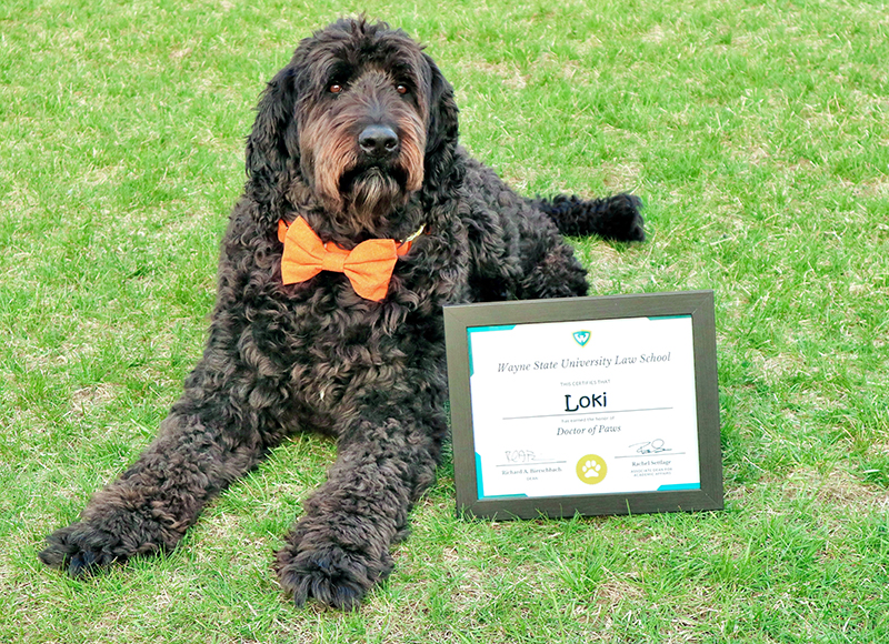 Wayne Law pet graduate Loki, poses with his Doctor of Paws degree